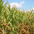 Foto Stock: Stalks of corn against blue sky vertical