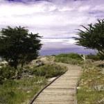 Boardwalk and Monterey cypress — Stock Photo