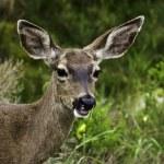 California mule deer — Stock Photo #2665938
