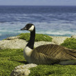 Canada goose resting — Stock Photo