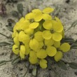 Menzie's wallflower in a sand dune — Stock Photo
