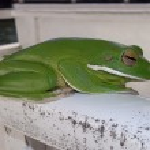 Постер, плакат: Australian green tree frog