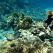 Стоковое фото: Striped surgeonfish and corals