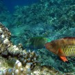 Pair of bridled parrotfish — Stockfoto #2666305