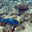 Steephead parrotfish - Stockfoto