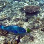 Steephead parrotfish — Stock Photo #2666316