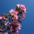 Stock Photo: Pink flowers of crabapple
