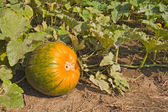 Partially ripe pumpkin in a patch — Stock Photo