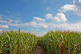 Path through a corn field with blue sky — 图库照片