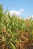 Mavi gökyüzüne dikey karşı mısır saplarını — Stok fotoğraf