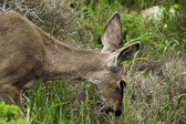California mule dee — Stock Photo