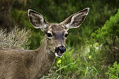 California mule deer — Foto Stock