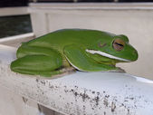 Australian green tree frog — Stock fotografie