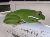 Australischen grünen laubfrosch — Stockfoto
