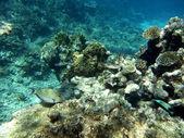 Los corales y pez cirujano rayado — Foto de Stock