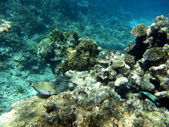 Prokládané surgeonfish a korály — Stock fotografie