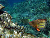 Pair of bridled parrotfish — Photo