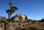 Joshua trees and rocks — Stock Photo