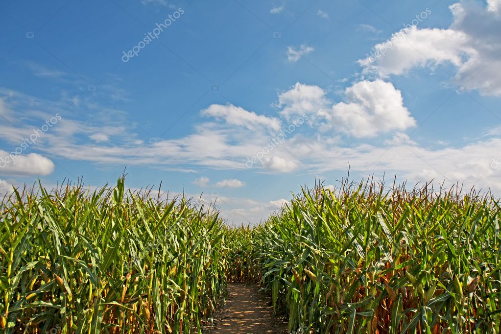 Path through a field of corn (Zea mays) with blue sky and white clouds — Stock Photo #2663359