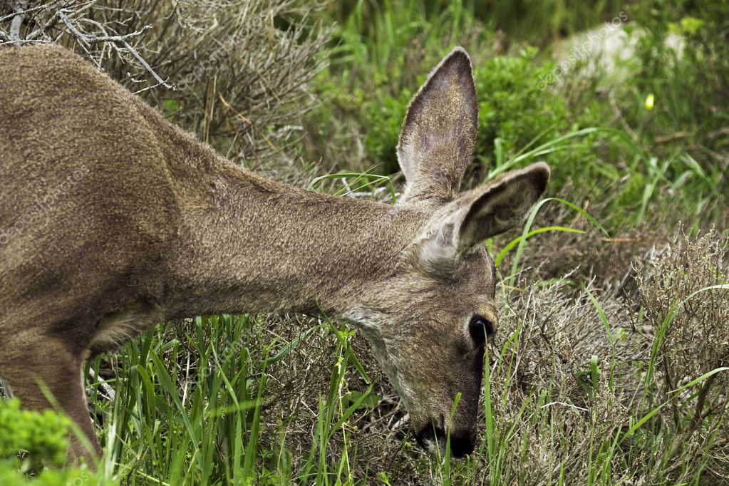California mule deer (Odocoileus hemionus californicus) browses on grass in a coastal preserve near Pacific Grove, CA  Stock Photo #2665920