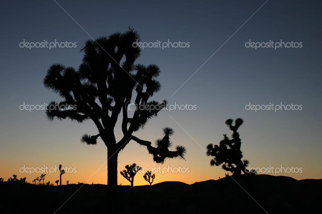Silhouettes of Joshua trees (Yucca brevifolia) at sunset in Joshua Tree National Park, California  Stock Photo #2666350