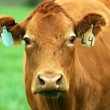 Portrait of brown cow with two ear tags — Foto Stock