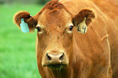 Portrait of brown cow with two ear tags — Stock Photo