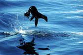 Sea lion leap — Stock Photo