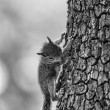Squirrel on Tree B&W — Stock Photo