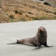 Seal, Newzealand — Stock Photo