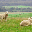 Stock Photo: Young sheep and ewe