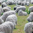 Flock of sheeps grazing on the field — Stock Photo