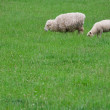 Stock Photo: Lamb and ewe grazing on green field