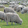 Stock Photo: Flock of sheep grazing on field