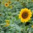 Stock Photo: Colorful sunflowers in sunny day
