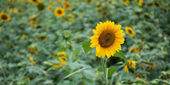 Colorful sunflowers in sunny day — Stock Photo