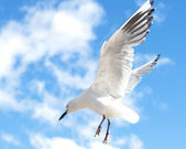 Seagull is flying in the blue sky — Stock Photo