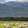 Snow capped mountain and sheep in NZ - Stock Photo