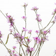 Spring pink flowers, white background — Stock Photo