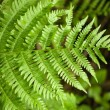 Fern frond — Stock Photo #1878117