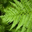 Macro fern frond — Stock Photo #1878148