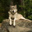 Foto Stock: Great plains wolf on rock