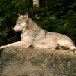 Lounging great plains wolf — Stok fotoğraf