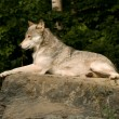 Lounging great plains wolf — Stockfoto