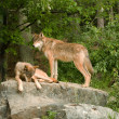 Foto de Stock  : Two rocky mountain wolves on rock