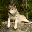 Watchful great plains wolf - Stock Photo