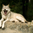 Yawning wolf — Stock Photo