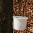 Catching maple sap 2 - Stock Photo
