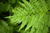 Macro fern frond — Stock Photo