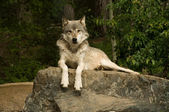 Great plains wolf op rots — Stockfoto